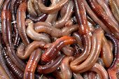 stock photo of night crawler  - a photo of a large number of night crawlers for fishing - JPG