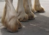 foto of clydesdale  - The hooves of three Clydesdales - JPG