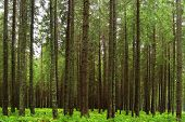 image of fairy-tale  - fairy tale fir tree forest - JPG