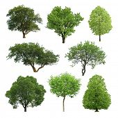 foto of linden-tree  - collection of isolated summer tree - JPG