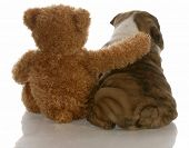 best friends - english bulldog puppy sitting beside bear