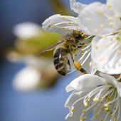 picture of apple tree  - Apple tree flower and bee - JPG