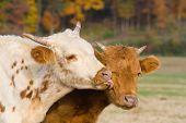 Calves And Kisses