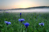 Blue Flowers Against The Sunrise