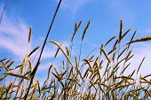 October Harvest Wheat