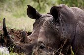 picture of broad-bodied  - Image of this white rhino captured in the iMfolozi game park in Kwa Zulu Natal - JPG