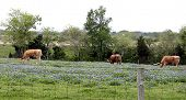 image of texas-longhorn  - Longhorn cattle graze contentedly on a field of Texas bluebonnets - JPG
