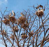 Marabou nests