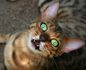 image of tinkerbell  - a bengali special breed kitten looking upwards - JPG