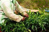 Tea plantation worker. Woman picking tea leaves in a tea plantation.