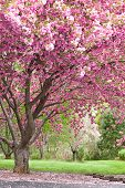 image of cherry blossoms  - magnificent beautiful flowering cherry tree in full bloom - JPG