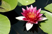 Pink water-lily
