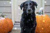Gorgeous Black Labrador Retriever Dog Sitting Next To Fall Pumpkins While Snowflakes Fall During An  poster