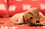 Dachshund puppy lay on red sofa and gnow lag