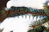 Snow on green fir branch