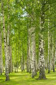 stock photo of birchwood  - Summer birchwood - JPG