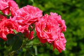 Vibrant red pink roses growing in the summer garden.