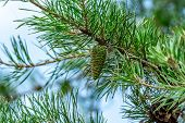 Green Pine Cone poster