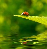 Red ladybug (Coccinella septempunctata) on green leaf with reflection