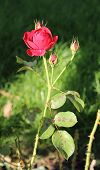 Rose With Crimson Red Bloom And Some Buds In Contrast With Dark Background poster