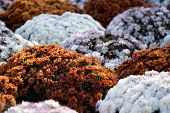 Close-up Flowers Blooming. Group Of Vibrant Colorful Flowers Blooming In Fall. poster