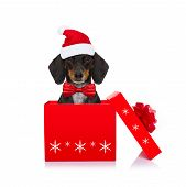 Christmas Santa Claus Dachshund Sausage Dog As A Holiday Season Surprise Out Of A Gift Or Present Bo poster