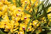 gardening, botany, texture and flora concept - beautiful yellow orchid flowers poster