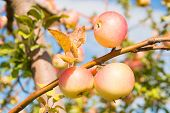 Apples Yellow Ripe Fruits On Branch Sky Background. Apples Harvesting Fall Season. Gardening And Har poster