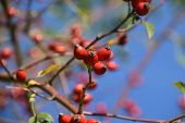 Close-up View Of Rose Hip Shrub In Autumn With Blurred Bokeh, Rose Hip Also Called Rose Haw Fruits I poster