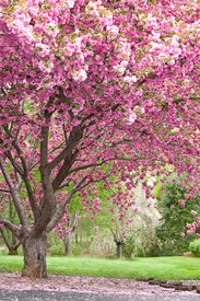 pic of cherry blossoms  - magnificent beautiful flowering cherry tree in full bloom - JPG