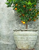 foto of tangelo  - Tangerine tree in old clay pot on stone wall background - JPG