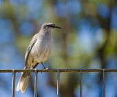 stock photo of mockingbird  - A chalk - JPG