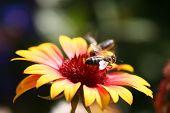 Bee on hoornbloem echinacea