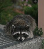 Racoon Waits