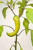 Chilipflanze