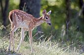 foto of mule deer  - A young mule deer fawn walks on a hillside - JPG