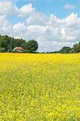 Paisagem de Verão escandinavo com Prado amarelo