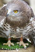 Toed Eagle