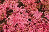stock photo of profusion  - A profusion of pink azalea blooms in peak condition - JPG