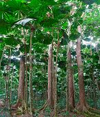 rainforest trees at tropical rain forest Cape Tribulation in Queensland Australia, lush jungle with