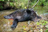 De jacht. Dode bruine beer.