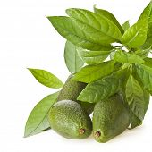 picture of avocado tree  - Avocado fruits with young leaves from Avocado tree - JPG