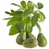 image of avocado tree  -  Avocado fruit  tree  isolated on white - JPG