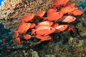 stock photo of bigeye  - School of Crescent - JPG