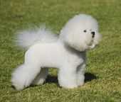 picture of bichon frise dog  - A small beautiful and adorable bichon frise dog standing on the lawn and looking cheerful - JPG