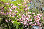 Japanese Cherry (sakura Tree) Blossom With Pink Flowers Against Green Tree Foliage, Japan