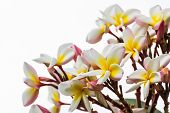 pic of champa  - Close up of frangipani flower or Leelawadee flower - JPG
