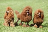 Three Red Poodle Posing On The Lawn