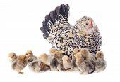 Family Chicken