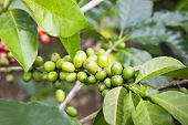 foto of coffee crop  - Unripe green coffee berries on the bush - JPG